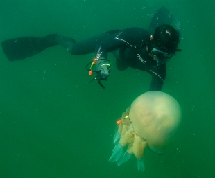 Tagging jellyfish Credit: Gower Coast Adventures