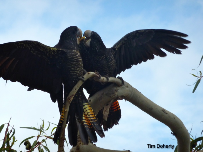 _Black cockatoos Credit Tim Doherty1