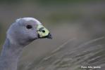 AvianBuffer