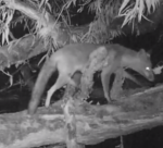 Fox on Camera Trap