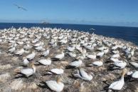australasian-gannets