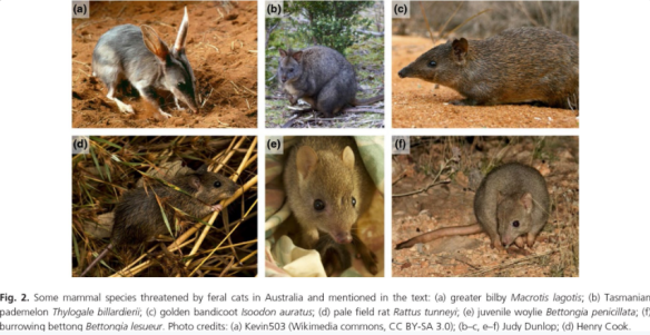 impacts-and-management-of-feral-cats-felis-catus-in-australia