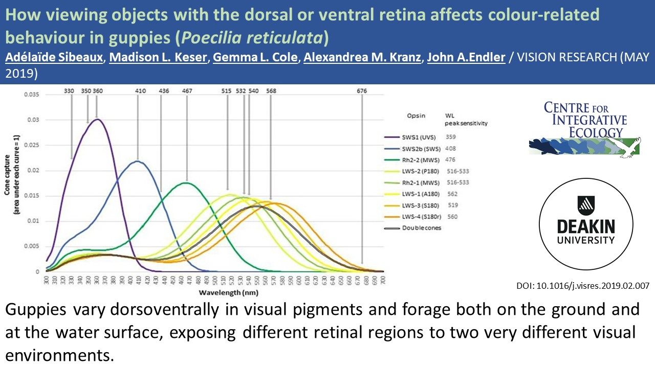 CIE Spotlight: How viewing objects with the dorsal or ventral retina