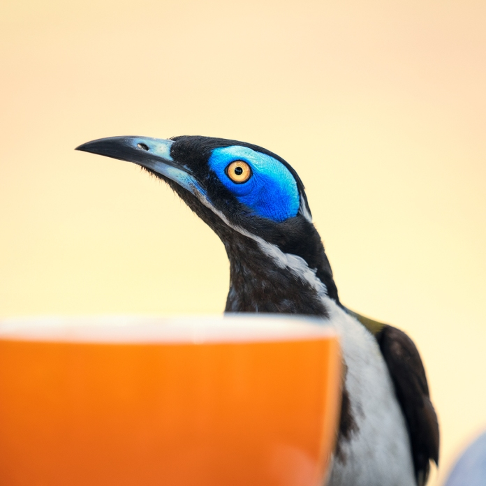 Very 'Melbourne' blue-faced honey-eater having a coffee (01 - Comedy wildlife)