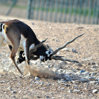 Two male blackbuck fighting over mating partner (05 - Ecology in action)