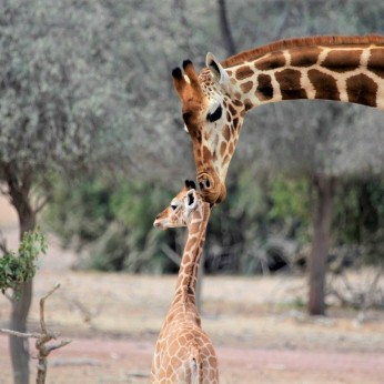 Mama giraffe showing affection for baby calf (06 - Wildlife)